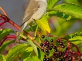 Klappergrasmücke / Lesser Whitethroat / Sylvia curruca