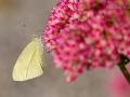 Kleiner Kohlweißling / Small White / Pieris rapae