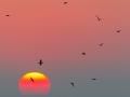 Kormoran / Great Cormorant / Phalacrocorax carbo
