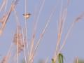 Cistensänger, Fan-tailed Warbler, Zitting Cisticola, Cisticola juncidis, Cisticole des joncs, Buitrón Ibérico, Buitrón