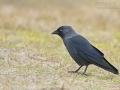 Dohle, Jackdaw, Eurasian Jackdaw, Corvus monedula, Choucas des tours, Grajilla Común, Grajilla