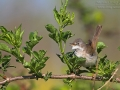 Dorngrasmücke, Common Whitethroat, Sylvia communis