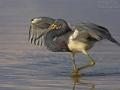 Dreifarbenreiher, Tricolored Heron, Louisiana Heron, Egretta tricolor, Aigrette tricolore, Garceta Tricolor