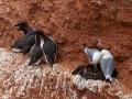 Dreizehenmöwe, Black-legged Kittiwake, Kittiwake, Rissa tridactyla, Mouette tridactyle, Gaviota Tridáctila