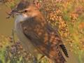 Great Reed Warbler, Great Reed-Warbler, Acrocephalus arundinaceus, Rousserolle turdoïde, Carricero Tordal