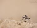 Dünen-Sandlaufkäfer / Northern Dune Tiger Beetle / Cicindela hybrida