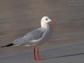 Dünnschnabelmöwe, Slender-billed Gull, Larus genei, Goéland railleur, Gaviota Picofina