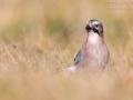 Eichelhäher, Eurasian Jay, Garrulus glandarius