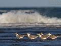 Eilseeschwalbe, Crested Tern, Great Crested Tern, Greater Crested Tern, Great Crested-Tern, Sterna bergii, Thalasseus bergii, Sterne huppée, Charrán Piquigualdo
