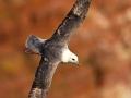 Eissturmvogel, Northern Fulmar, Fulmar, Fulmarus glacialis, Fulmar boréal, Pétrel fulmar, Fulmar Boreal