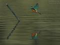 Eisvogel, Common Kingfisher, Kingfisher, River Kingfisher, Alcedo atthis, Martin-pêcheur d'Europe, Martin-pêcheur, Martín Pescador