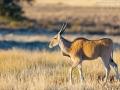 Elenatilope, Eland, Taurotragus oryx