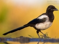 Elster, Eurasian Magpie, Pica pica