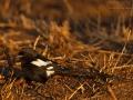 Elsterwürger, Magpie Shrike, Corvinella melanoleuca