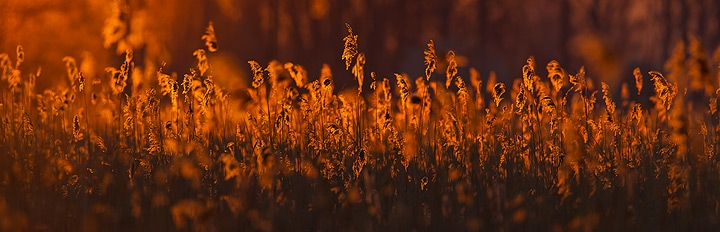 Schilf im Morgenlicht / Reed in morning light