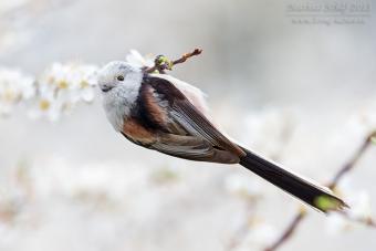 Schwanzmeise, Long-tailed Tit, Aegithalos caudatus