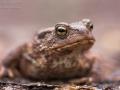 Erdkröte / Common Toad / Bufo bufo