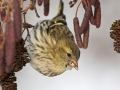 Erlenzeisig, Eurasian Siskin, Siskin, Spruce Siskin, Carduelis spinus, Tarin des aulnes, Lúgano