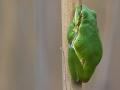 Europäischer Laubfrosch / European Tree Frog / Hyla arborea