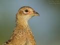 Fasan, Common Pheasant, Phasianus colchicus