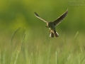 Feldlerche, Eurasian Sky Lark, Skylark, Sky Lark, Eurasian Skylark, Alauda arvensis, Alouette des champs, Alondra Común