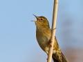 Feldschwirl, Grasshopper Warbler, Common Grasshopper Warbler, Common Grasshopper-Warbler, Locustella naevia, Locustelle tachetée, Buscarla Pintoja