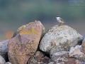 Western Rock Nuthatch, Rock Nuthatch, Western Rock-Nuthatch, Sitta neumayer, Sittelle de Neumayer, Trepador Rupestre