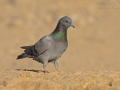 Felsentaube, Rock Dove, Rock Pigeon, Feral Rock Pigeon, Columba livia, Pigeon biset, Paloma Bravía