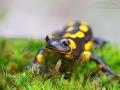 Feuersalamander / Fire Salamander / Salamandra salamandra