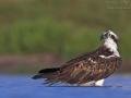 Fischadler, Osprey, Pandion haliaetus, Balbuzard pêcheur, Águila Pescadora