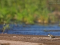Flussregenpfeifer, Flußregenpfeifer, Little Ringed Plover, Little Plover, Charadrius dubius, Petit Gravelot, Chorlitejo Chico