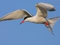 Flussseeschwalbe, Fluss-Seeschwalbe, Flußseeschwalbe, Common Tern, Sterna hirundo, Sterne pierregarin, Charrán Común