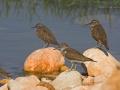 Flussuferläufer, Flußuferläufer, Common Sandpiper, Actitis hypoleucos, Tringa hypoleucos, Chevalier guignette, Andarríos Chico