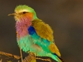 Gabelracke, Lilac-breasted Roller, Coracias caudata