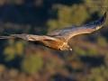 Gänsegeier, Eurasian Griffon Vulture, Griffon Vulture, Eurasian Griffon, Gyps fulvus, Vautour fauve, Buitre Leonado