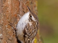 Gartenbaumläufer, Short-toed Treecreeper, Short-toed Tree-Creeper, Certhia brachydactyla, Grimpereau des jardins, Agateador Común
