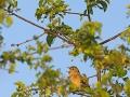 Gartengrasmücke, Garden Warbler, Sylvia borin,  Fauvette des jardins, Curruca Mosquitera