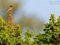 Gartenrotschwanz, Common Redstart, Phoenicurus phoenicurus