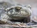 Geburtshelferkröte / Common Midwife Toad / Alytes obstetricans