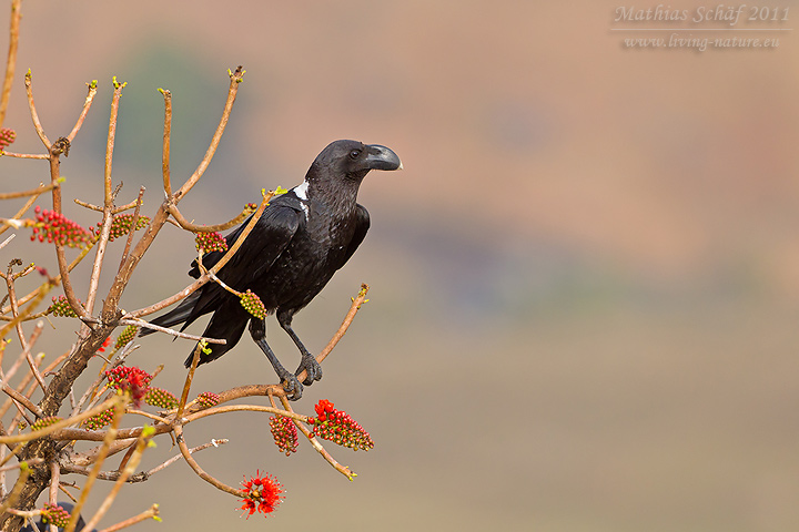 Geierrabe african white necked raven corvus albicollis living nature