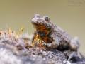 Gelbbauchunke / Yellow-Bellied Toad / Bombina variegata
