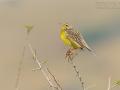 Gelbkehlpieper, Yellow-throated Longclaw,  Macronyx croceus