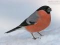 Gimpel, Dompfaff, Northern Bullfinch, Bullfinch, Eurasian Bullfinch, Common Bullfinch, Pyrrhula pyrrhula, Bouvreuil pivoine, Camachuelo Común