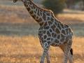 giraffe_5dmk3_01111
