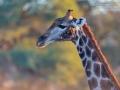giraffe_5dmk3_01115
