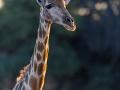 giraffe_5dmk3_01118