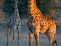 giraffe_5dmk3_01135