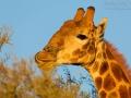 giraffe_5dmk3_02252