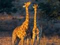 giraffe_5dmk3_02318