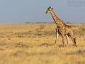 giraffe_5dmk3_06524